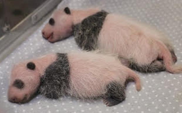 twin-giant-panda-cubs-toronto-zoo