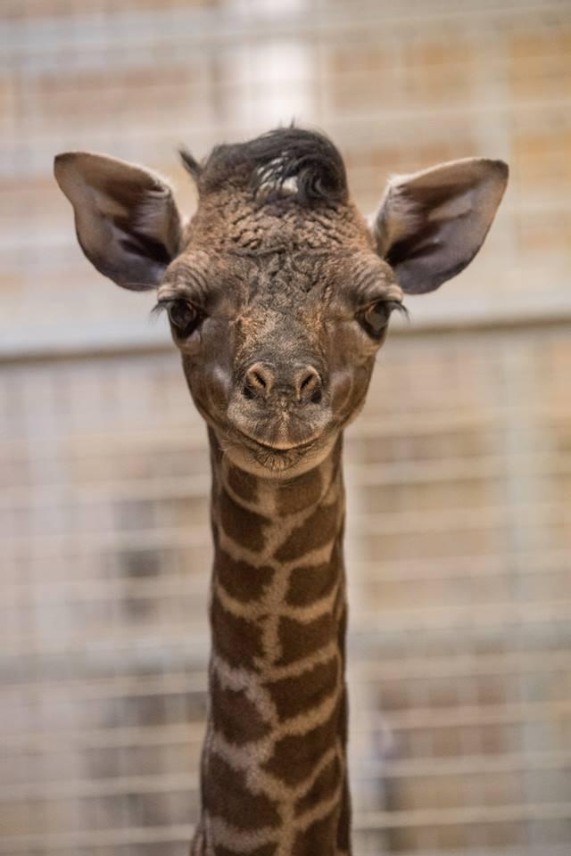 baby girafe 3